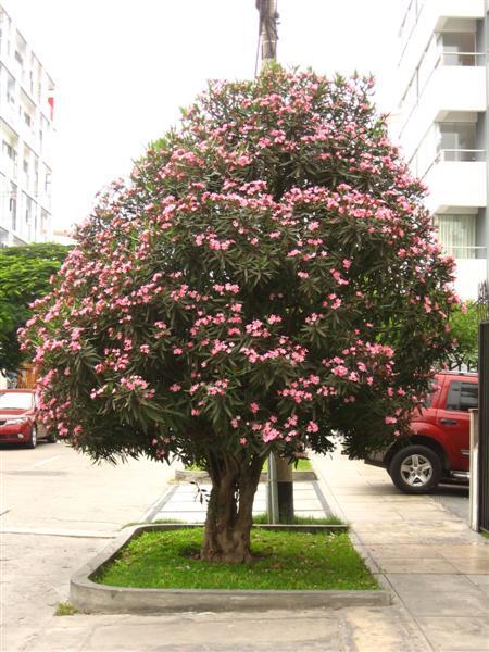 nerium oleander (laurel de flor) | babilónica