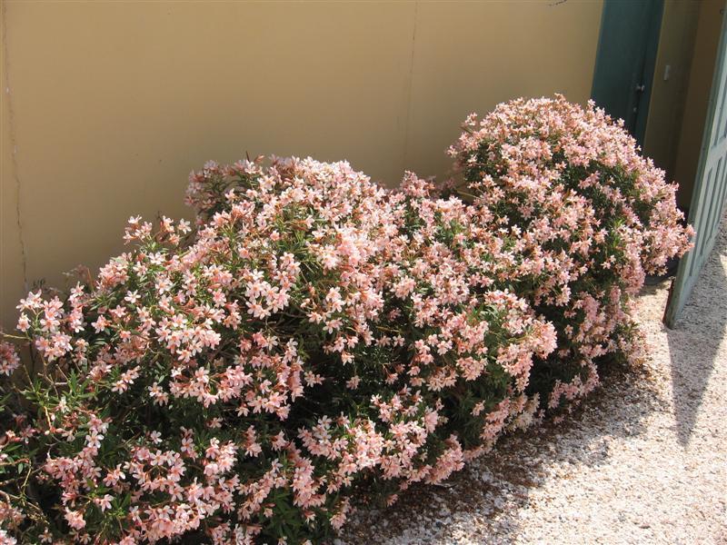 Nerium oleander laurel de flor babil nica for Arbustos enanos para jardin
