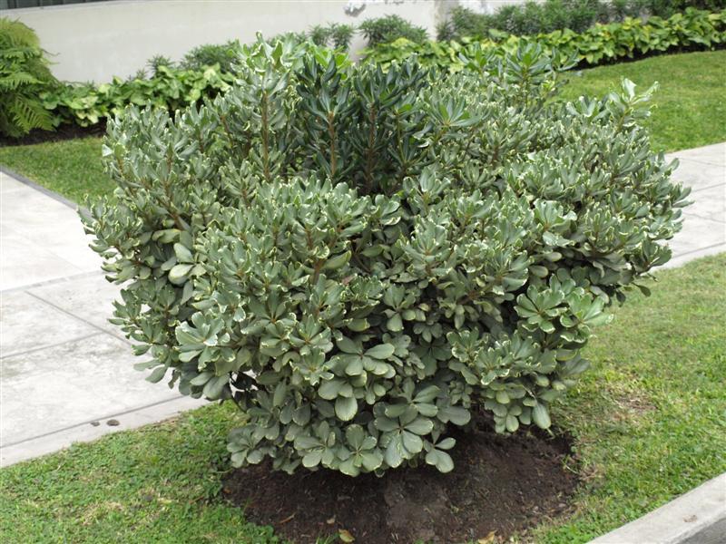 Lima babil nica for Arbustos enanos para jardin